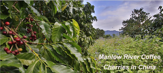Ripe Coffee Cherries at Manlao River Coffee